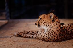 img Chilled_cheetah.jpg