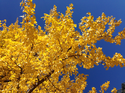 img grundblom-Yellow_2014_Fall_Tree_21.png