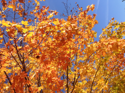 img grundblom-Yellow_2014_Fall_Tree_5.png