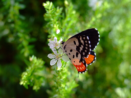 img raj77in-butterfly.png