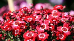 img vtuli77-Red_Flowers.png