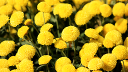 img vtuli77-Yellow_Flowers.png