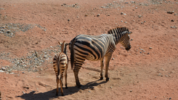 img robyduck-zebra.png